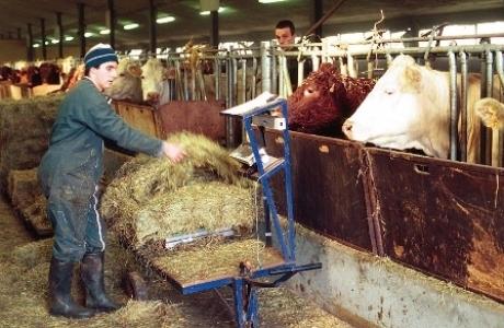 Distribution des rations de foin au domaine expérimental INRA de Laqueille en Auvergne.